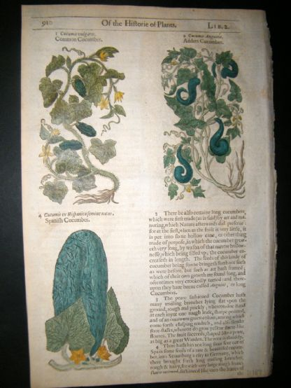 Gerards Herbal 1633 Hand Col Botanical Print. Cucumbers, Vegetable | Albion Prints